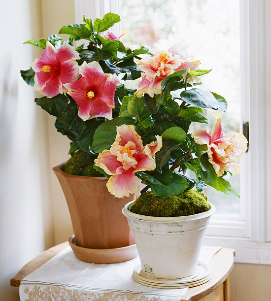 Best flowering indoor plants for Flowering plants for indoors