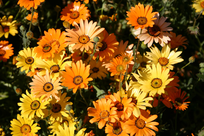Flowers that love full sun and heat in the garden