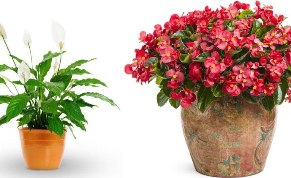 Indoor flower plants low light indoor flowering plants no for Indoor flowering plants low light