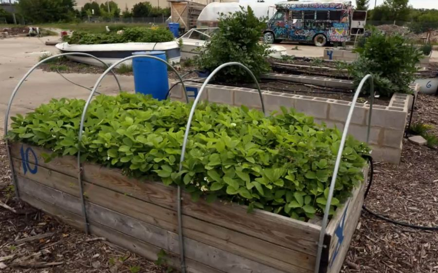 Urban gardening in contaminated areas in Chicago