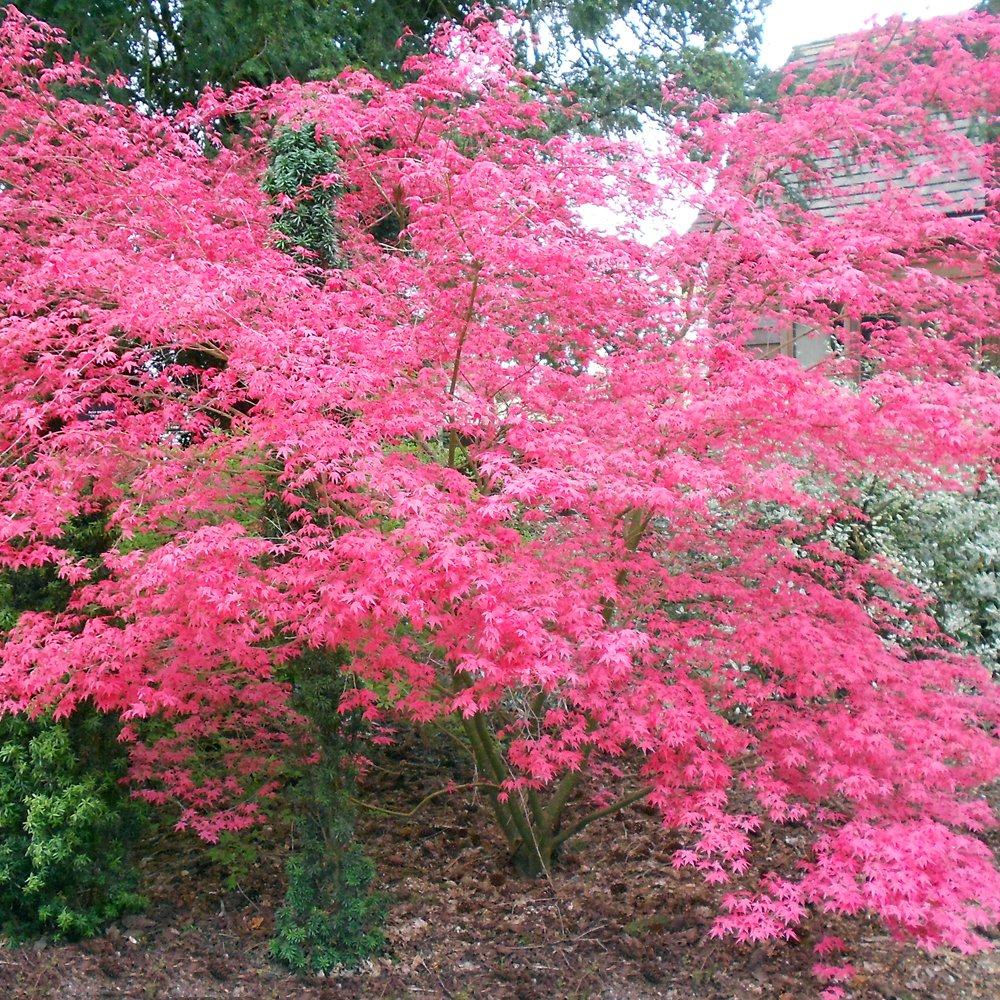 Decorative Trees With Red Leaves Amazing Contrasts