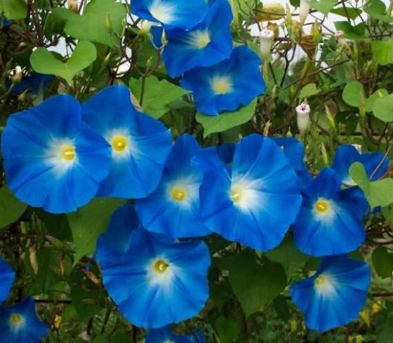 Plants with blue flowers a splash of colors in the garden - Plants with blue flowers a splash of colors in the garden ...