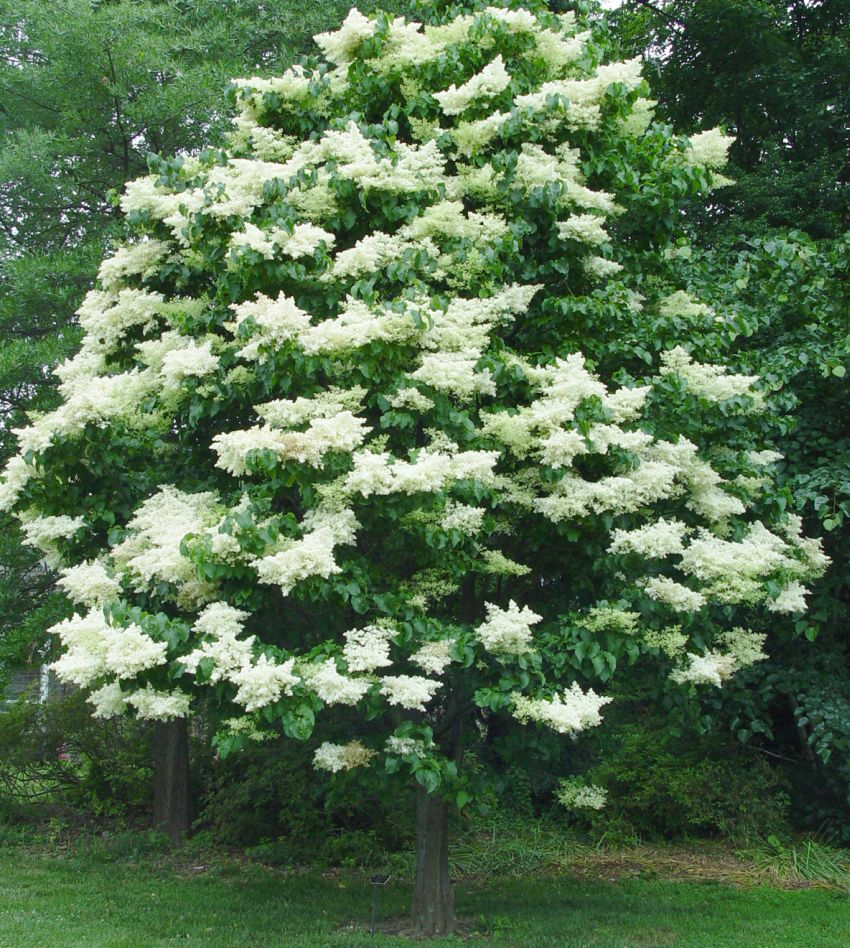 Decorative small trees for landscaping for Popular small trees