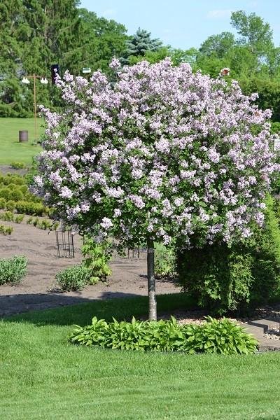 Decorative small trees for landscaping in the garden