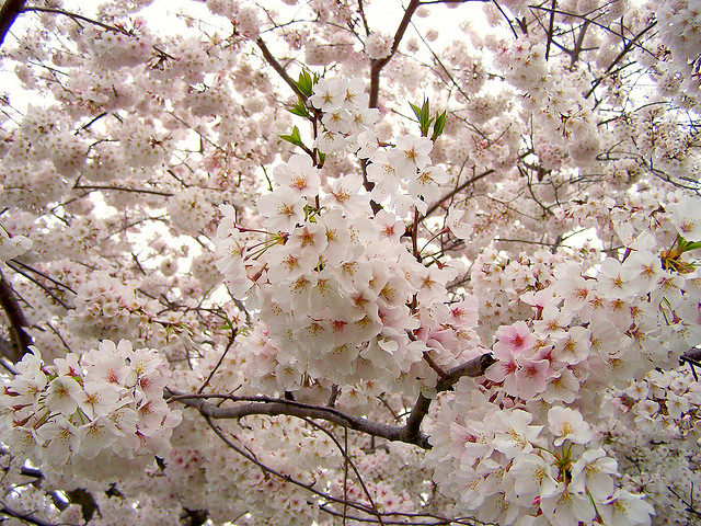 Fastest growing ornamental trees in the garden