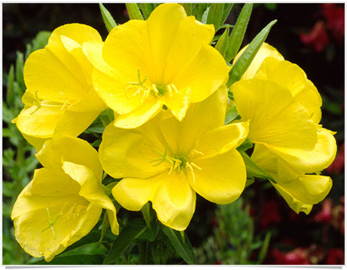 Flowers that bloom only at night flowers that bloom only at night evening primrose mightylinksfo