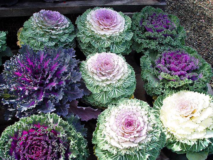 Flowers to plant in the fall to be frost resistant
