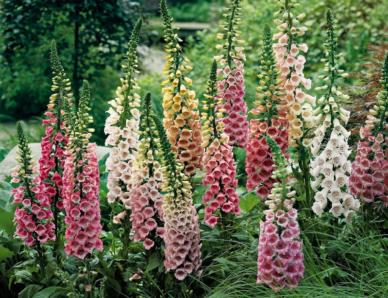 Perennial flowers for borders in the garden