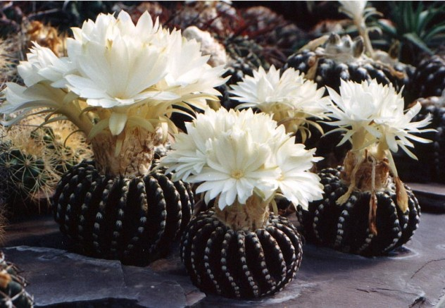The most beautiful cactus flowers in the world