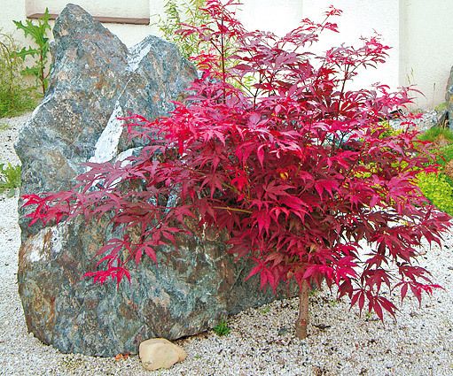 arbori ornamentali cu frunze rosii decorative trees with red leaves 2