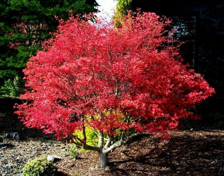 arbori ornamentali cu frunze rosii decorative trees with red leaves 3