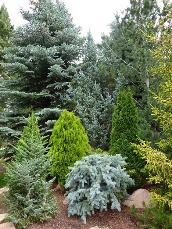 gradini amenajate cu conifere evergreen landscaping ideas 1