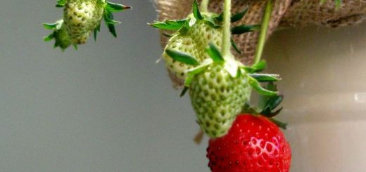 ripening_strawberries