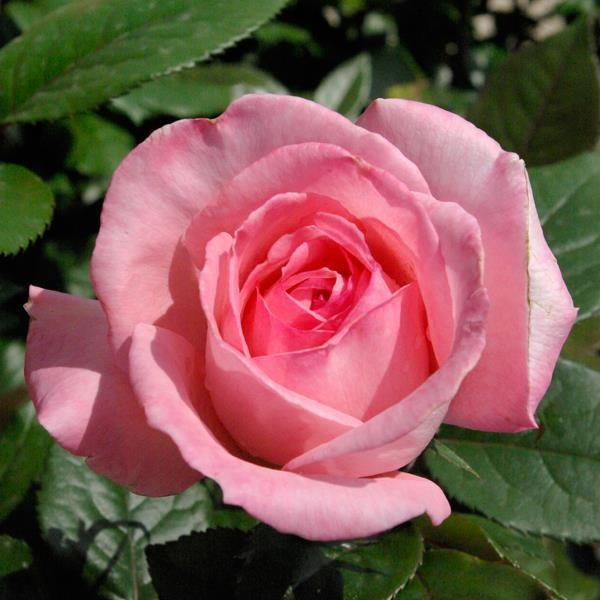 rose cultivars for the garden