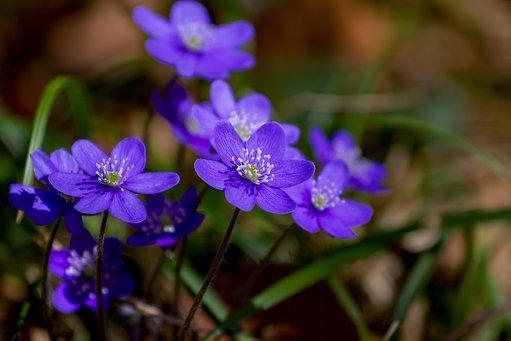 plante care rezista iarna hepatica