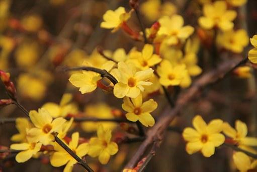 plante care rezista iarna iasomia de iarna