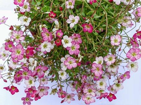 plante care rezista iarna saxifraga